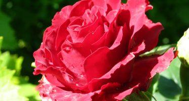 Нейминг роз